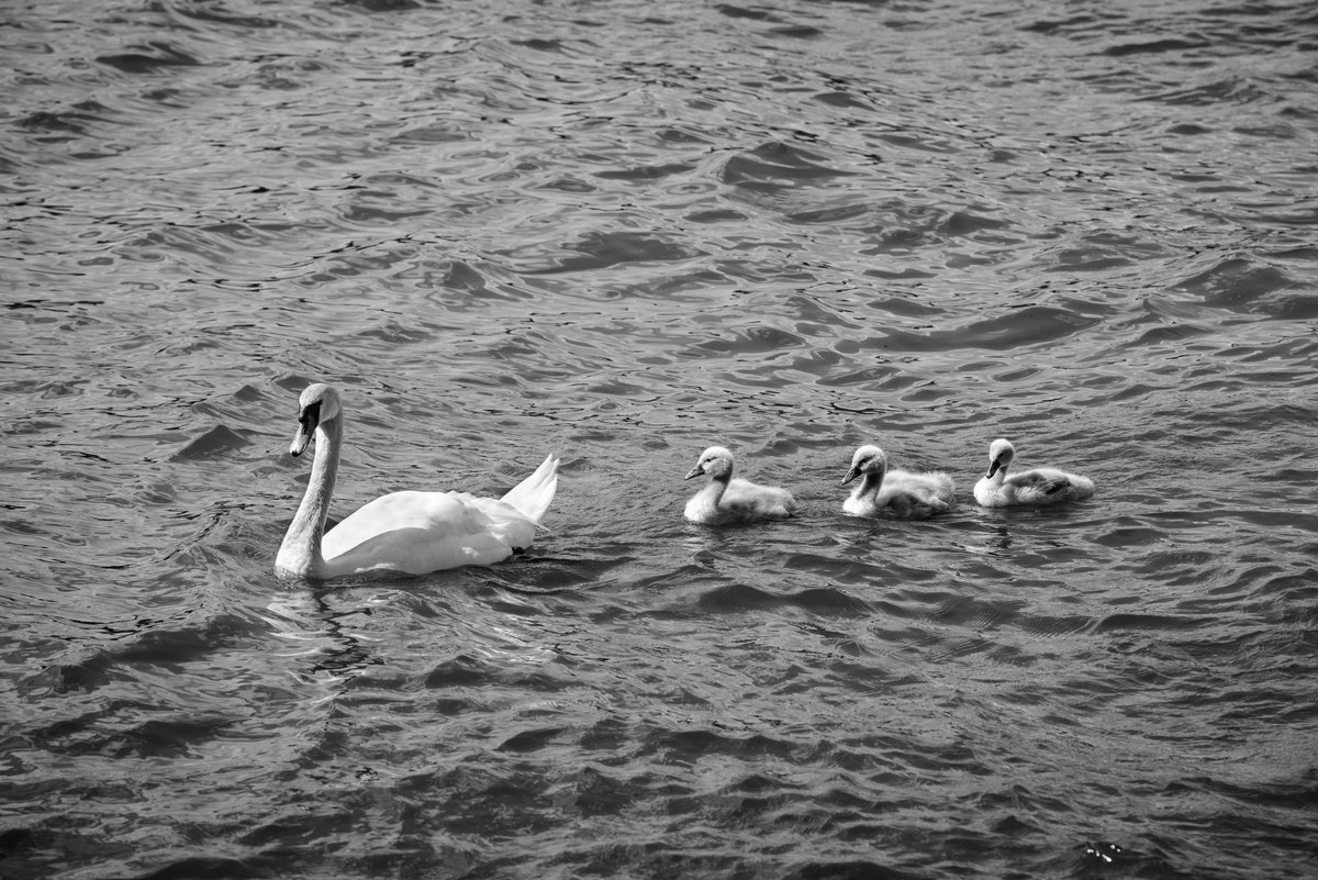 Swan with its swanlings