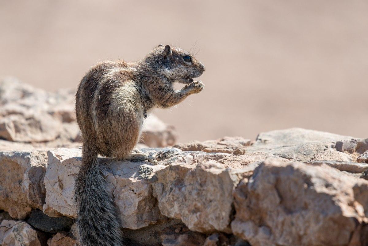 Squirrel in Fuerteventura