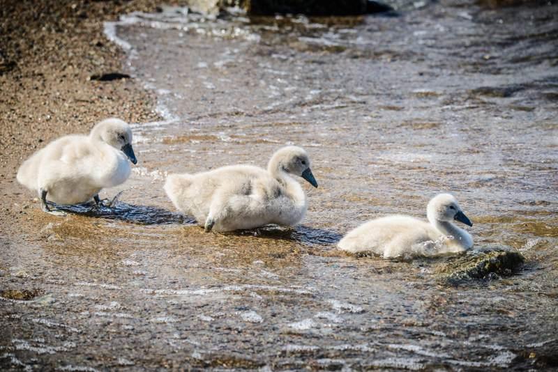 Three swanlings